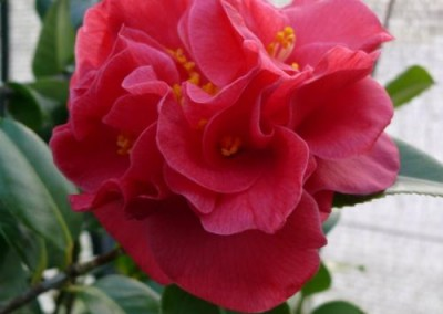 CAMELLIA japonica 'Margaret Wells'