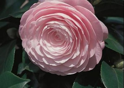 CAMELLIA japonica 'Pearl Maxwell'