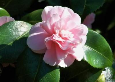 CAMELLIA japonica 'Scarlet Temptation'