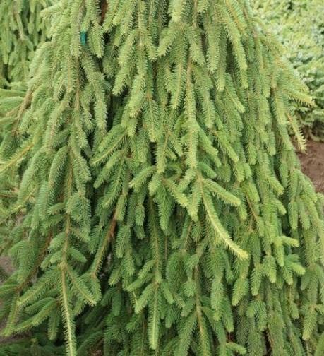 ель Picea Inversa Pendula купить в симферополе ялте садовый